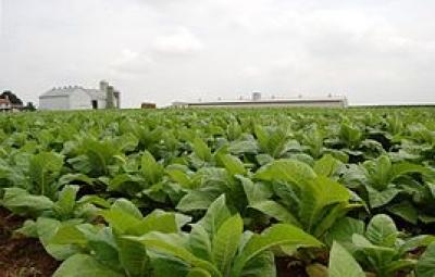 SALTA: Se realizó la primera reunión para definir el precio del tabaco Virginia