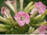 Flor del Tabaco
